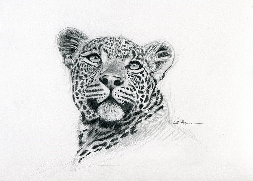 Leopard Dessin Croquis Art Realiste Stephane Alsac