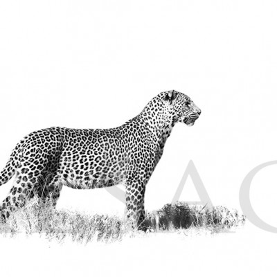 leopard-photography-black-&-white-africa