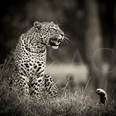 leopard-romi-photo-noir-blanc-afrique-felin-big-cat