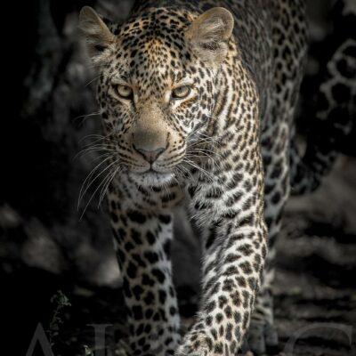 leopard-walker-yeux-sublime-photo-nooir-blanc-afrique