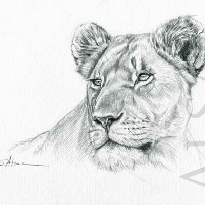 lioness-portrait-illustration-drawing-realistic