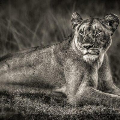 lionne-couchée-photo-noir-blanc-lion-afrique-felin