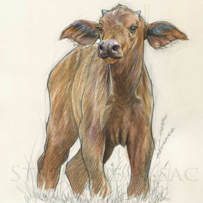 painting-baby-cape-buffalo-illustration-animals