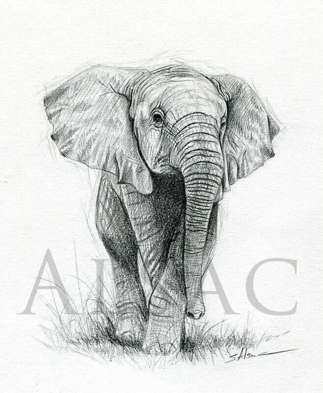 L phanteau st phane alsac - Elephant en dessin ...