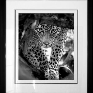 photo-black-white-leopard-nyeleti-cadre