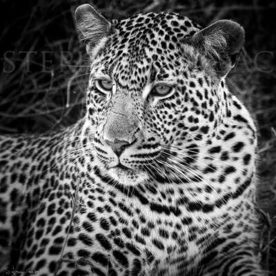 photo-leopard-xiviti2-B&W