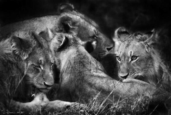 photo noir et blanc lionne et lionceaux