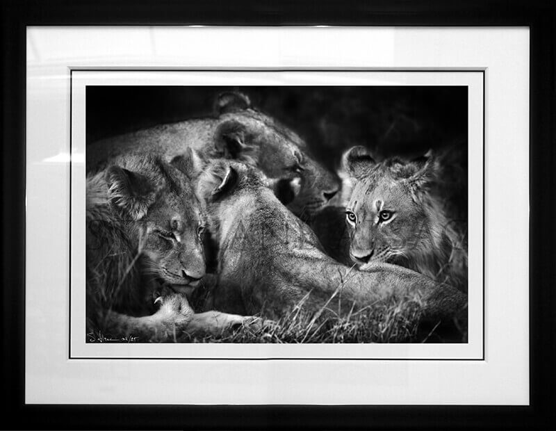 Black & white photography of a lioness and her cubs