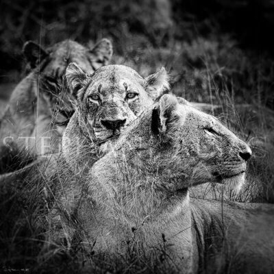 photo-lioness-mothers-B&W