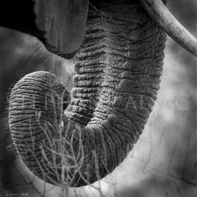 photo-trunk-afrique-N&B