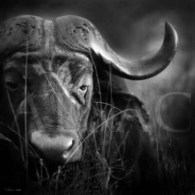 photography-black-and-white-Old-cape-buffalo