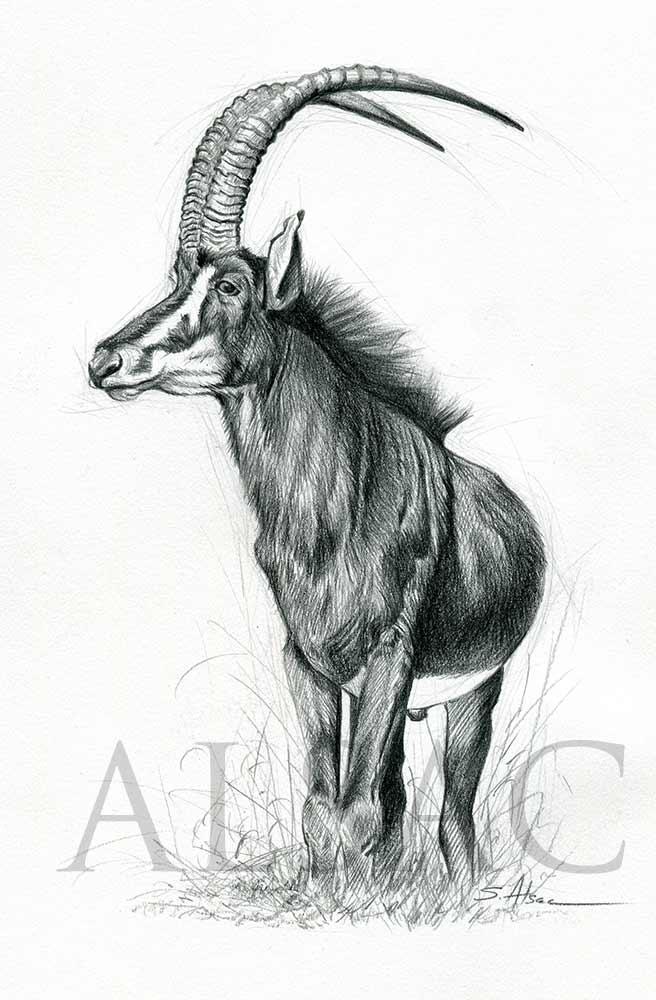 Sable Antelope Illustration by Stéphane Alsac - Wildlife ...