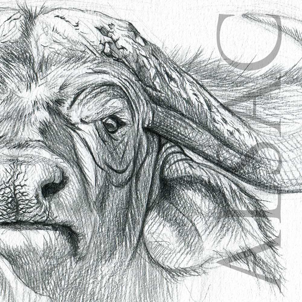Cape buffalo sketch stéphane alsac