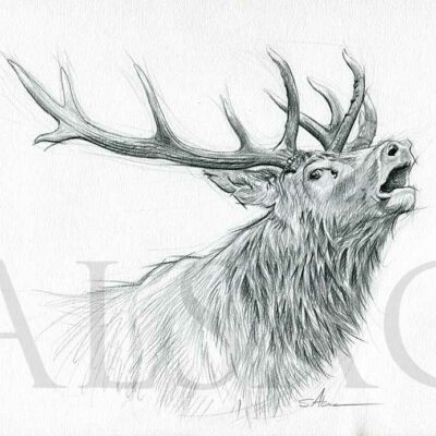 sketch-drawing-red-stag-deer-wildlife-hunting-art