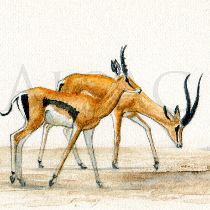 swala-tomi-aquarelle-gazelle-detail