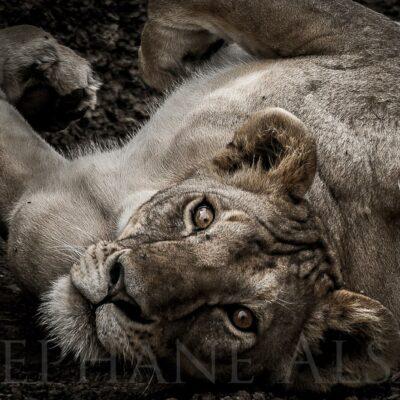 wake-up-photo-d'art-noir-blanc-yeux-magnifiques-lionne-afrique